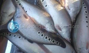kinh nghiệm khi nuôi cá Nàng Hai